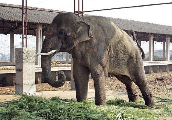 Слон, спасенный Памелой Андерсон и Полом Маккартни, убил человека