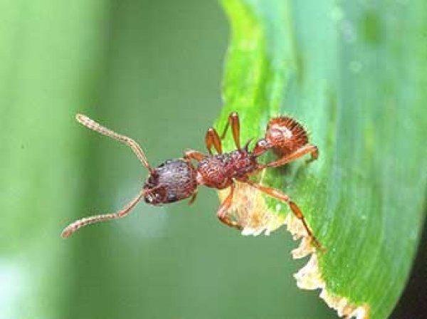 В Японии впервые в истории смертельно опасный муравей укусил человека