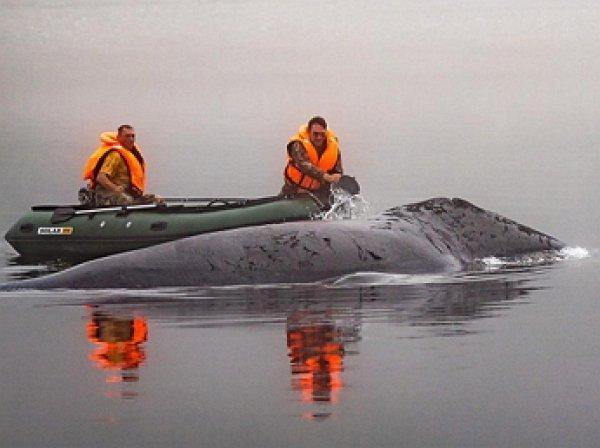 Застрявший на мели в Хабаровском крае кит освобожден (ВИДЕО)