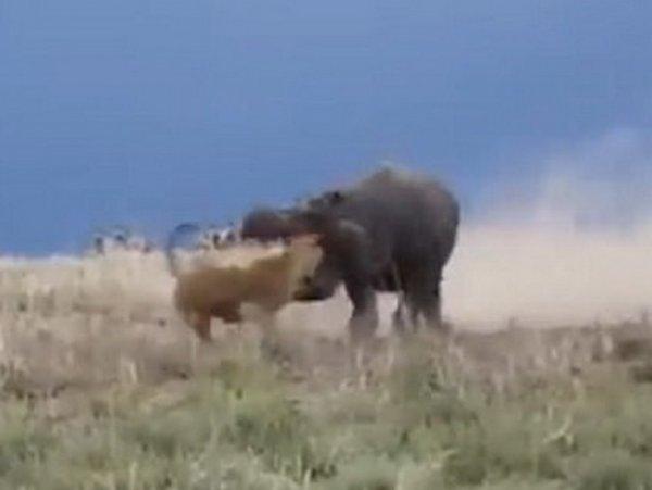 На YouTube попало видео, как гиппопотам чуть не откусил голову львице