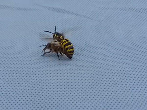 На YouTube попало ВИДЕО смертельной битвы осы и пчелы