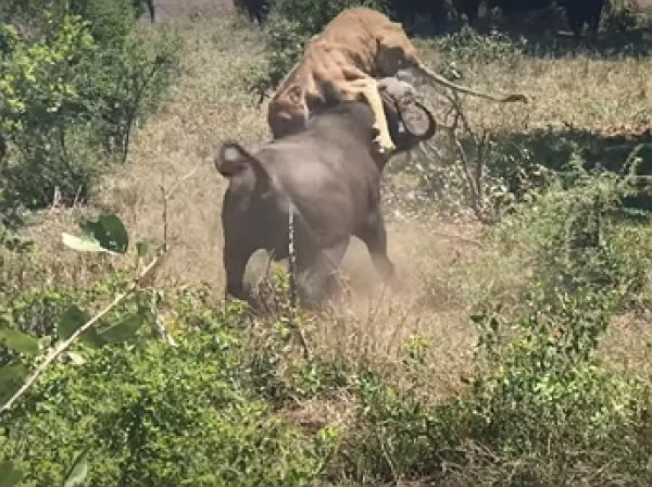 Опубликовано видео эпичной схватки львицы с буйволом