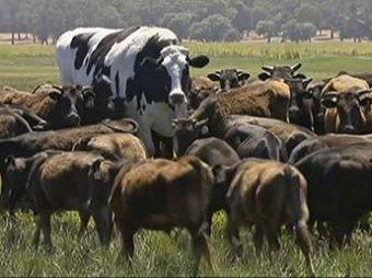 В Австралии нашли аномально крупного быка по кличке Трусики