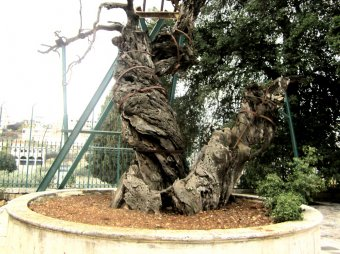 В Палестине сбылось роковое пророчество о конце света: рухнул дуб Авраама (ФОТО, ВИДЕО)