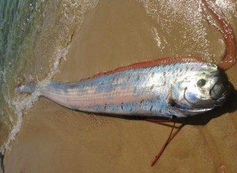 Страшная примета: в Японии поймали гигантскую рыбу - предвестницу цунами (ФОТО)