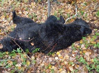 В Хабаровском крае медведь разрыл могилу и утащил покойника с кладбища