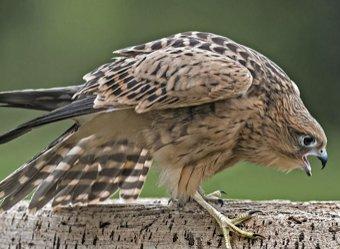 Пожары в Сибири уничтожили 80% потомства хищных птиц
