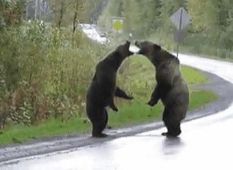 В Канаде жесткая схватка двух огромных гризли попала на видео