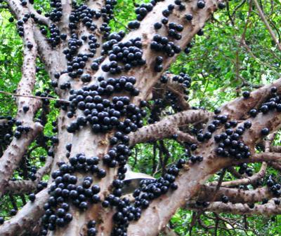 Манго картинка фрукт
