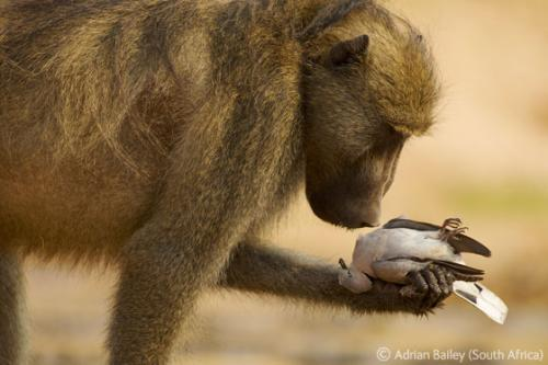 "...������� ����� (Adrian Bailey) - ""���������� ������"" (""The thoughtful baboon""),"