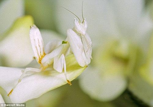 Малазийский орхидейный богомол прекрасно сливается с цветком.