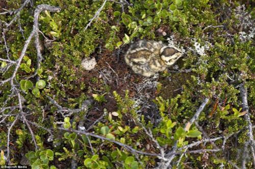 Птенец горной белой куропатки в своем гнезде в Норвегии.