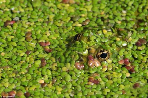 Зеленая лягушка наблюдает из ряски в Сант-Омере, Франция.