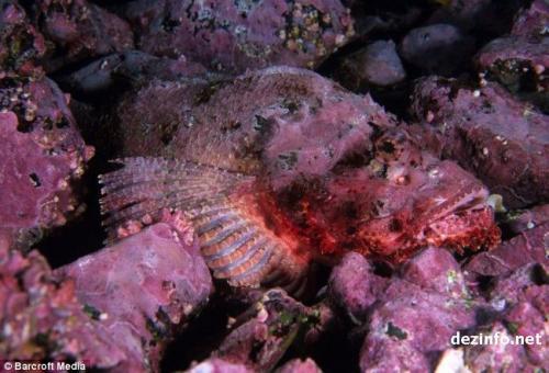 Тихоокеанская пятнистая рыба-скорпион теряется среди камней, остров Мальпело, Тихий Океан.