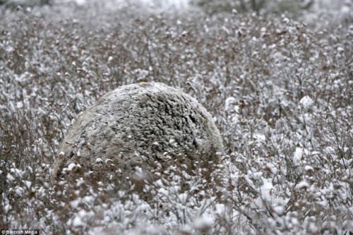 Медведь Гризли скрывается среди заснеженных кустов в Северной Америке.