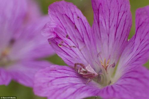 Крабовый паук - в цветке герани во Франции.