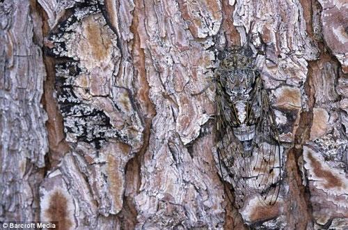 Серая цикада мимикрирует на сосновой коре во Франции.