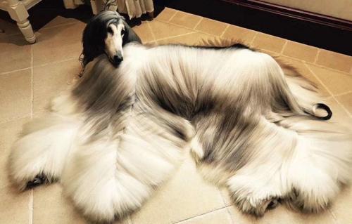 Владелец самой стильной в мире собаки - афганской борзой по кличке Нирвана Бэттл - уже потратил на свою любимицу около $40 000, и не собирается останавливаться! 29-летний директор по маркетингу пекинской компании, гордится тем, что на его собаку все смотрят с восхищением, и старается ради этого, как может. Он потратил больше $15 000 на оборудование для груминга, и еще $800 ежемесячно тратит на средства для мытья и ухода за шерстью. Зато результат поразителен!