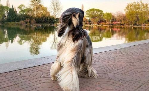 """""""Когда я только увидел Нирвану Бэттл, она уже была самой красивой собакой в мире, - говорит Чан. - А сейчас она - член нашей семьи, так что я не имею ничего против того, чтобы тратить на нее время и деньги""""."""