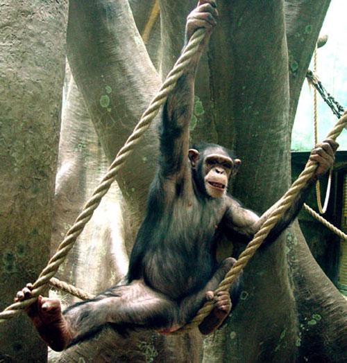 Синдер была неожиданным ребёнком в семье шимпанзе, ведь её мама Молли (Mollie) и  папа Смоук (Smoke) становились в последний раз родителями за девять лет до её рождения, и в зоопарке считали, что у них уже не будет больше детей…