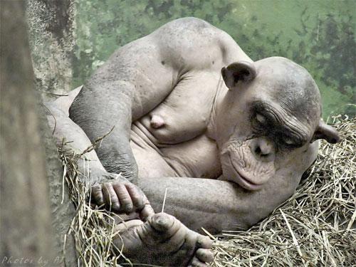В конечном итоге они диагностировали у Синдер редкое аутоиммунное заболевание alopecia areata, которое встречается приблизительно у  1,7 процента населения земного шара, но в отличие от людей обезьяны не сталкиваются с психологическими и социальными последствиями болезни…