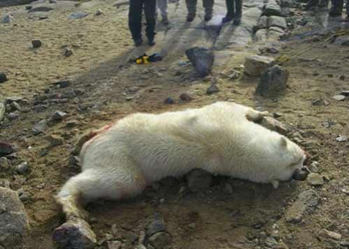 Специально для ортодоксальных защитников животных.  встреча каковых с человеком иногда заканчивается...  Нападение Белового медведа (жесть)  Жесть!  Нападение белого медведя!  Медведь напал на него, в... Posted by Воффка at 14.07.06...