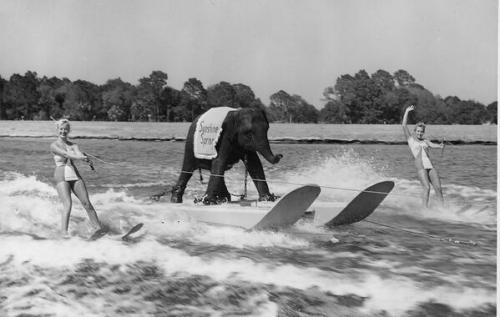 Куини, первый слон, катающийся на водных лыжах, 1950.