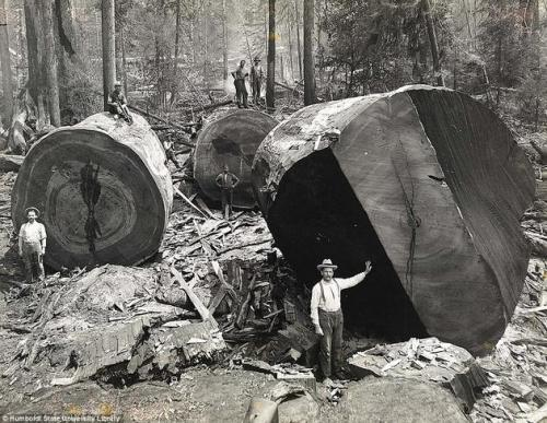 Калифорнийские лесорубы на фоне красного дерева