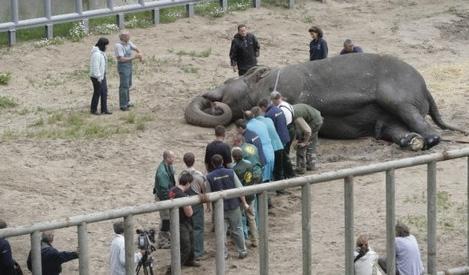 слон бой