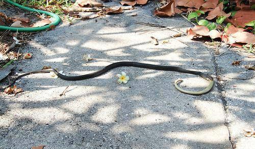 snake-eating-snake-12. змея ест змею.