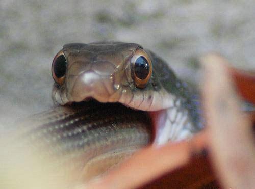 snake-eating-snake-06. змея ест змею.
