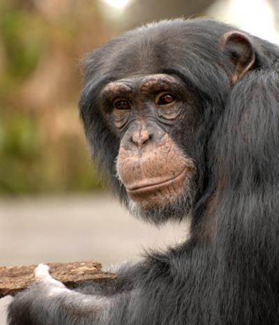 Например, шимпанзе Канзи в