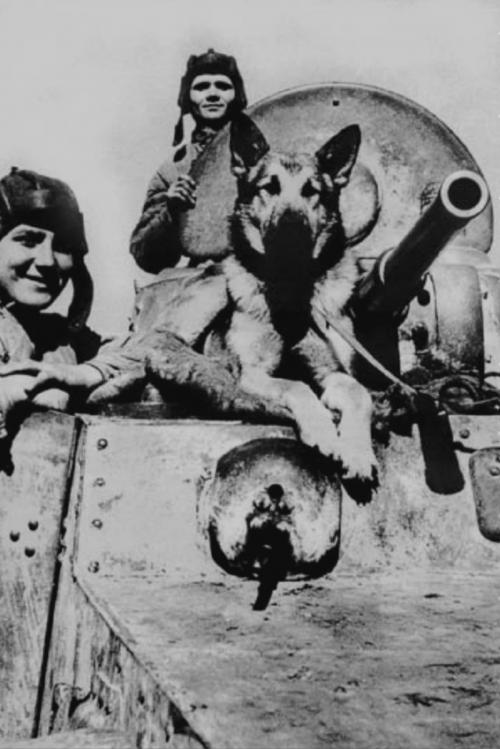 """ДжульбарсСобакой были обнаружены 7 тысяч мин и 150 снарядов. Так же Джульбарс принимал участие в разминировании дворцов над Дунаем, замков Праги и соборов Вены. 21 марта 1945 года был награжден медалью """"За боевые заслуги"""" и это единственный случай за все время войны, когда собака удостоилась награды.На Параде Победы в Москве командир 37-го отдельного батальона разминирования, майор, Александр Мазовер, строевым шагом пронёс боевого пса мимо трибуны с Верховным Главнокомандующим."""