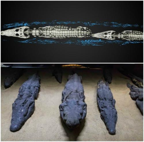 Мумии крокодилятОдной из интереснейших находок стали мумии 47 юных крокодильчиков. По предположению ученых, они стали жертвами богу-крокодилу Себеку. Некоторые египтологи даже полагают, что египтяне специально выращивали крокодилят для жертв Себеку, речному богу, хотя пойманные взрослые крокодилы служили для них предметом поклонения.
