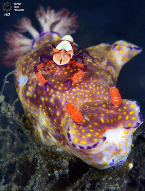 Категория: Macro/Nudibranchia. 1 место. (Marchione Giacomo)