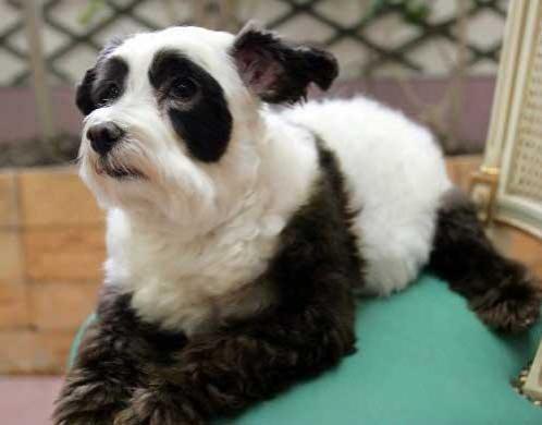 Собака-панда завоевывает мир - Форум о собаках Doggi.ru