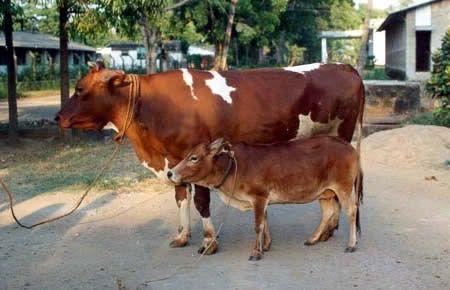 Самая маленькая корова. 81-91 см в длину.