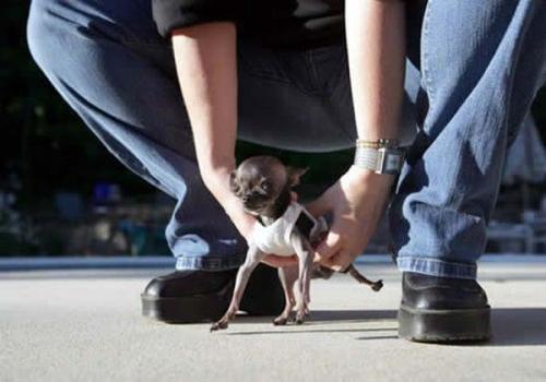 Самая маленькая собака. Ducky - чихуахуа из Массачусетса, США. Ее рост - 4,9 дюйма (примерно 12 см)