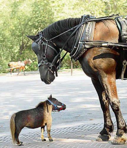 Самая маленькая лошадь. 43 сантиметра в высоту.