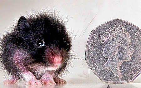 Самый маленький хомячок. Два с половиной сантиметра.