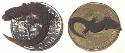 Самая маленькая ящерица. 16 мм в длину.