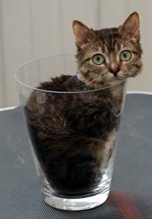 Самая маленькая кошка. Peebles из Иллинойса, США. Рост - 15,5 см, длина - 49 см.