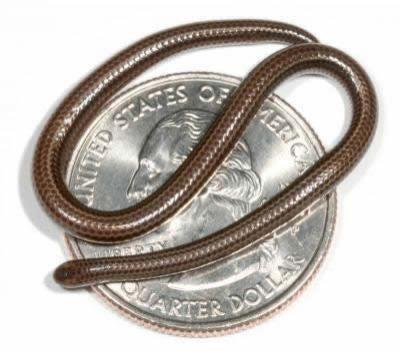 """Самая маленькая змея. 10 см в длину. (По материалам <a class=""""news_id_text_l"""" href=""""http://dezinfo.net"""">Dezinfo.net</a>)"""