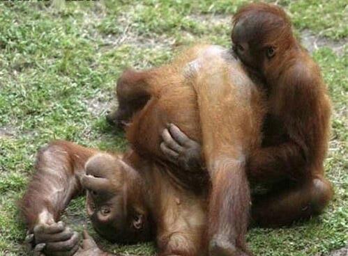 Обезьяны гориллы секс