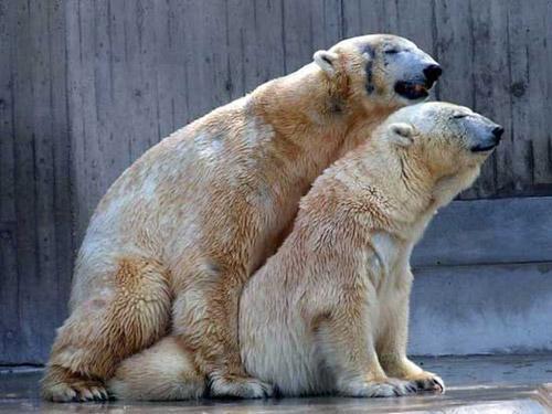 Медведи занимаются сексом