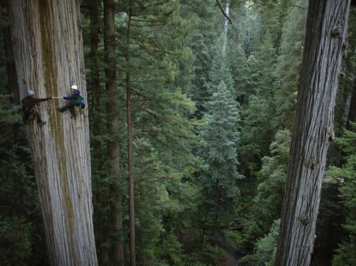 Redwood Tree, Калифорния, США (Michael Nichols)