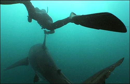 Самая большая хищная акула в мире фото