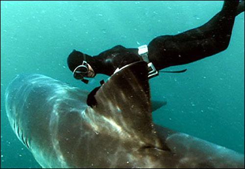Люди, которые плавают с акулами пытаются доказать, что акулы - это не...