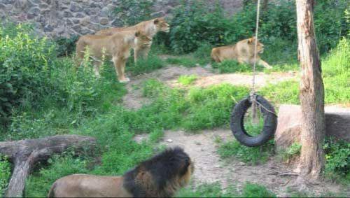 <B>Жуткая трагедия, произошедшая в Киевском зоопарке этим летом. </B>Самоубийца погулял по всему парку, обошел всех зверей и залез в вольер ко львам... На снимке видно как звери наблюдают за странным поведением незнакомца...