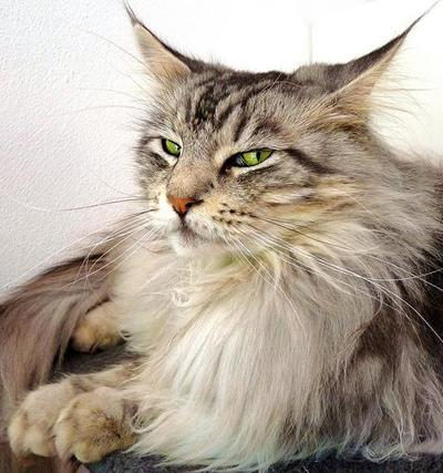 2. ���� ��� (Maine Coon)